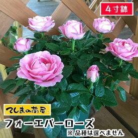 【てしまの苗】バラ苗 おまかせ フォーエバーローズ 4寸鉢 【人気】
