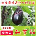【てしまの苗】ナス苗 水ナス みず茄 断根接木苗 9cmポット 【人気】
