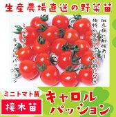 ミニトマト・キャロルパッション、断根接木苗、9cmポット