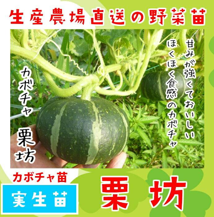 【てしまの苗】カボチャ苗 栗坊 実生苗 9cmポット 【人気】