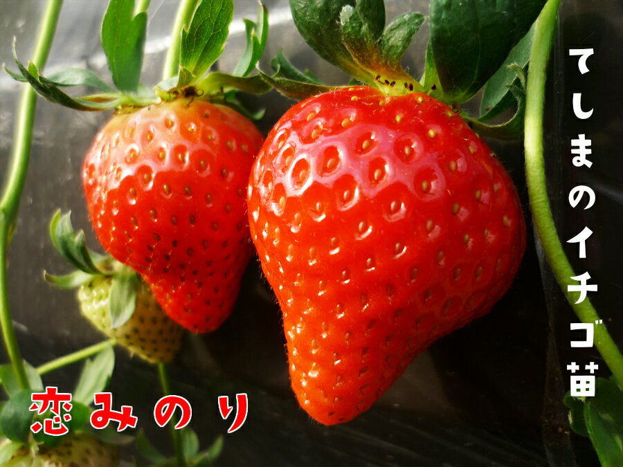 【秋植えイチゴ苗】 恋みのり 9cmポット 【人気】