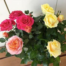 【てしまの苗】 バラ苗 フォーエバーローズギフト 3色入り 7寸鉢 12月中旬発送 【人気】