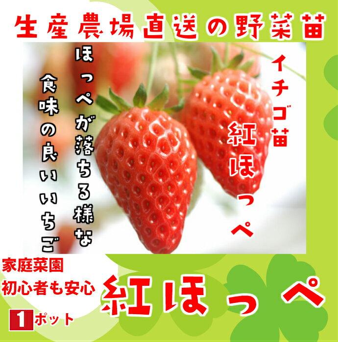 【生産農場直送】 紅ほっぺ 9cmポット 【人気】