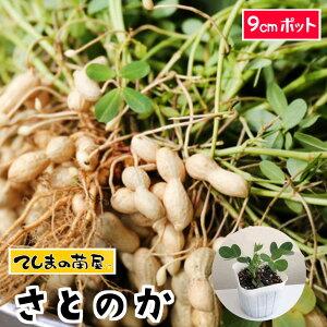 【てしまの苗】 ラッカセイ苗 さとのか  落花生 実生苗 9cmポット