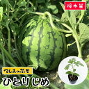 【てしまの苗】小玉スイカ苗 ひとりじめ 断根接木苗 9cmポット 野菜苗