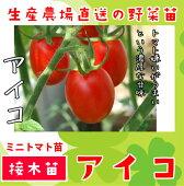 ミニトマトアイコ断根接木苗9cmポット