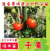 ミニトマト・千夏