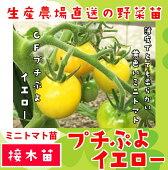【生産農場直送】ミニトマト苗CFプチぷよイエロー断根接木苗9cmポット【人気】
