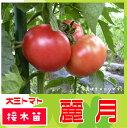 【生産農場直送】大玉トマト苗 麗月 断根接木苗 9ccmポット 10P18Jun16