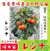【生産農場直送】ミニトマト苗レジナ断根接木苗9cmポット【人気】