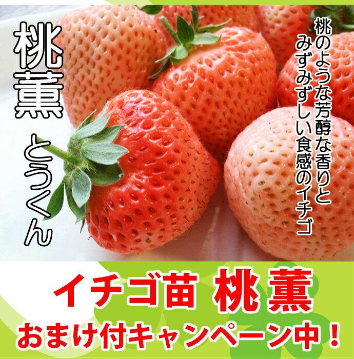 桃薫〈とうくん〉いちご苗イチゴ苗 9cmポット10P18Jun16