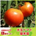 【てしまの苗】H30年3月上旬より順次発送【1株】大玉トマト苗 断根接木苗  9cmポット 品種は選べません