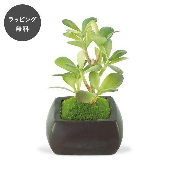 CT触媒グリーン 和盆栽 カネノナルキ