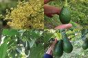 愛媛県松山産 アボカド1.5kg 12258:フルーツ・果物