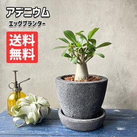 アデニウム アラビカム コーデックス eggpot植え ボリューム品 塊根植物 多肉植物 観葉植物 送料無料