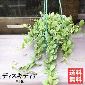 ディスキディア エメラルド 斑入り Dischidia 吊り鉢 ハンギング 吊り下げ 観葉植物 吊る つる