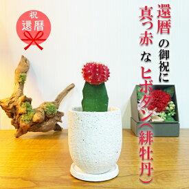 赤いサボテン 還暦祝い プレゼント 陶器鉢植え 観葉植物 ギフト お祝い 管理簡単 サボテン 送料無料 女性 男性 母 父 ヒボタン 緋牡丹