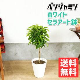 ベンジャミン 6号 ホワイト セラアート鉢 送料無料 フィカス ベンジャミナ 観葉植物 おしゃれ 中型 小型 フィカス ゴムの木 インテリア