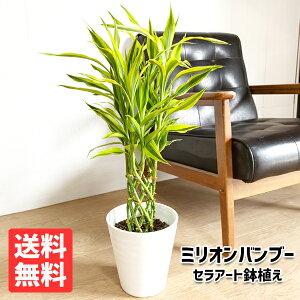 ミリオンバンブー 幸運の竹 6号 ホワイト セラアート鉢 送料無料 ドラセナ サンデリアーナ 観葉植物 おしゃれ 中型 小型 ラッキーバンブー インテリア