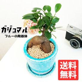 ガジュマル 送料無料 ブルー ツートーン陶器鉢植え 卓上サイズ 観葉植物 おしゃれ ガジュマルの木 多幸の木 ミニ 小型 フィカス ゴムの木 インテリア ガジュマロ
