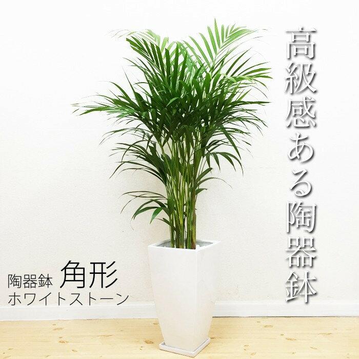 アレカヤシ 陶器鉢 角型 ヤシ 送料無料 ヤシの木 観葉植物 中型 大型