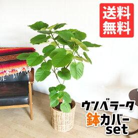 ウンベラータ 8号 ナチュラル鉢カバー付 送料無料 フィカスウンベラータ 観葉植物 おしゃれ 中型 大型 フィカス ゴムの木 ウランベータ インテリア