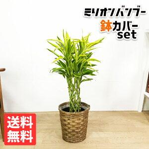 ミリオンバンブー 幸運の竹 6号 鉢カバー付 送料無料 ドラセナ サンデリアーナ 観葉植物 おしゃれ 中型 小型 ラッキーバンブー インテリア