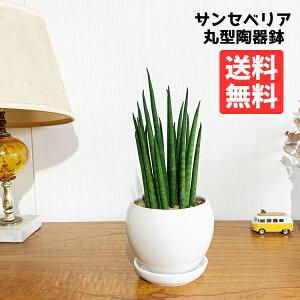 サンスベリア 育てやすい お手入れかんたん 丸型陶器鉢植え 卓上サイズ 観葉植物 本物 サンセベリア バキュラリス ミカド 送料無料 ミニサイズ 小型 インテリア