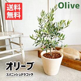 オリーブ スペイン製 テラコッタ鉢植え 素焼き鉢 送料無料 庭木 鉢植え 観葉植物 おしゃれ インテリア 中型 オリーブの木 寒さに強い ウエディング 植樹 記念樹 結婚式