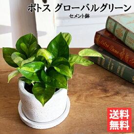 ポトス グローバルグリーン 白色鉢植え セメントホワイト 観葉植物 ミニ 卓上 セメントポット 丈夫で簡単 送料無料