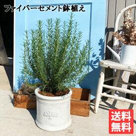 ローズマリー 立性 ラウンドポット植え ホワイト 送料無料 鉢植え 観葉植物 苗 苗木 ベランダ テラス バルコニー ハーブ