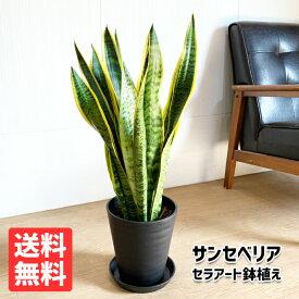 サンスベリア 送料無料 ブラックセラアート鉢 観葉植物 中型 サンセベリア ローレンティー トラノオ おしゃれ インテリア