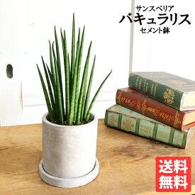 サンスベリア アッシュグレー鉢植え セメントポット 卓上サイズ 観葉植物 本物 サンセベリア バキュラリス ミカド 送料無料 ミニサイズ 小型 インテリア