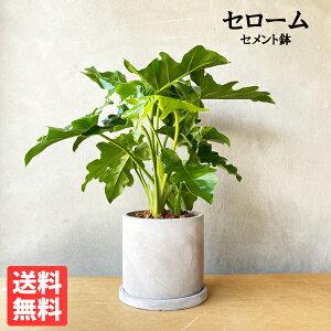 セローム フィロデンドロン アッシュグレーセメント鉢植え 丸型 観葉植物 卓上 本物 セロウム インテリア 中型 送料無料 花 ガーデン DIY 花 観葉植物 観葉植物 インテリア