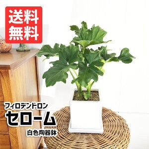 セローム フィロデンドロン 陶器鉢植え 角型 ホワイト 観葉植物 卓上 本物 セロウム インテリア 中型 ミニ 送料無料 花 ガーデン DIY 花 観葉植物 観葉植物 インテリア