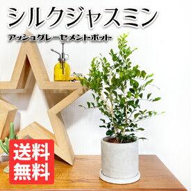 シルクジャスミン アッシュグレー セメント鉢植え 送料無料 ゲッキツ 観葉植物 おしゃれ 中型 インテリア 花 ガーデン DIY 寒さに強い
