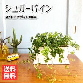 シュガーバイン スクエア鉢植え ボタニーポット ホワイト 卓上サイズ 観葉植物 本物 シッサス 送料無料 ミニサイズ 小型 インテリア