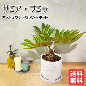 ザミア プミラ メキシコソテツ アッシュグレーセメント鉢植え 送料無料 花 ガーデン DIY 花 観葉植物 インテリア