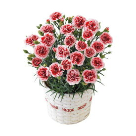 母の日ギフト カーネーション鉢植え「いちごホイップ」5号 花ギフト プレゼント 送料無料 【ST216703027】
