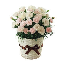 母の日ギフト カーネーション鉢植え「クレアライトピンク」 花ギフト プレゼント 送料無料 【ST216705011】