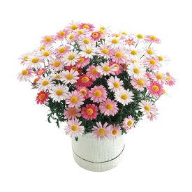 母の日ギフト マーガレット鉢植え ストロベリーホイップ 花ギフト プレゼント 送料無料 【ST216706018】