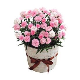 母の日ギフト カーネーション鉢植え 「バンビーノ」5号 花ギフト プレゼント 送料無料 【ST216718016】