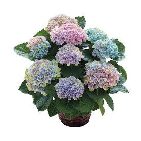 母の日ギフトアジサイ鉢植え マジカルレボリューション レインボー 送料無料【ST216722013】