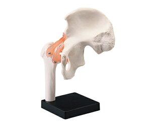 関節模型(人体模型シリーズ)股関節
