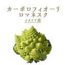 カーボロフィオーリ ヴェルディ (ロマネスク ロマネスコ)(緑カリフラワー)イタリア野菜 <イタリア>【1株=…