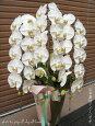 胡蝶蘭白3本立2万円