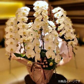 享受奢華蘭花包裝樂趣的七個垂直白色 70000 日元禮品 _ 禮品 _ 會展中心輸入的 smtb-s 蘭花交付銀座花店東京花卉