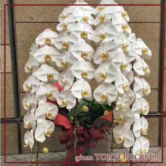 蝴蝶蘭四個垂直白色 44 環比鍋包含樂趣多包裝的禮物 _ 有趣的禮物 _ 會展中心輸入 smtb s 東京蘭花交付店,銀座,丘比特成員花卉東京阻礙