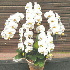 胡蝶蘭 5本立ち 白 3万円 送料無料 銀座 お祝い 開店 御祝 お祝 上場祝 花 就任祝 贈答
