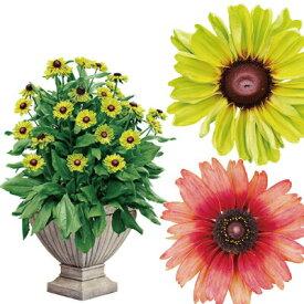 【7月中旬〜発送】ルドベキア アーバンサファリ 2種類 5号 ポット苗 送料別 ギフト プレゼント 花壇 父の日 プレゼント 切り花やドライフラワーにも